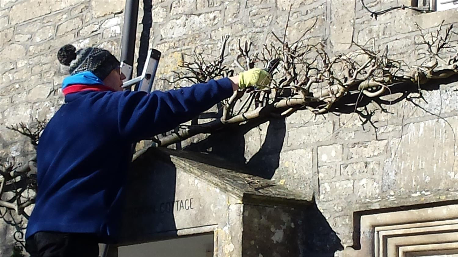 Wisteria pruning at Roman Cottage